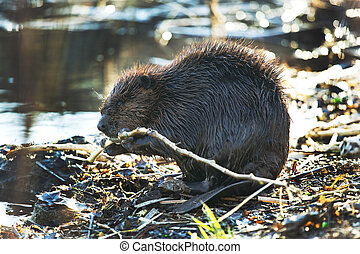 Beaver eating branches - Wild beaver eating tree branches...
