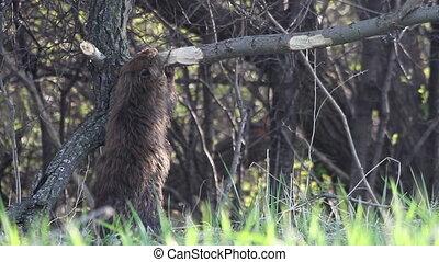 Beaver Eating Montage