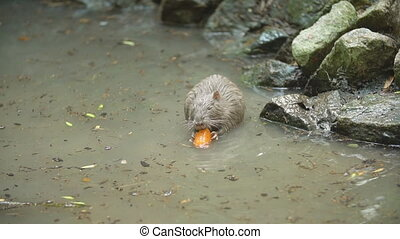 beaver eats carrots in his pond