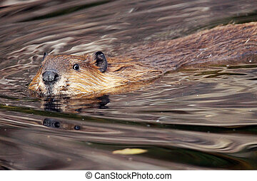Swimming beaver, Castor canadensis, looking at camera