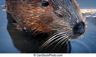 Beaver Moving Around In The Water - Beaver chewing and...