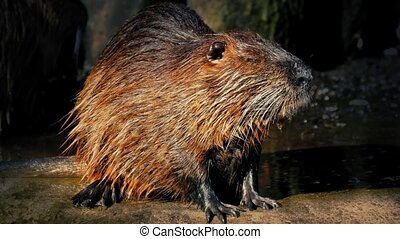 Beaver Next To Sunny Lake - Wet beaver by the edge of the...