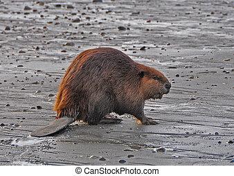 Beaver on Beach - Beaver found walking on saltwater beach in...
