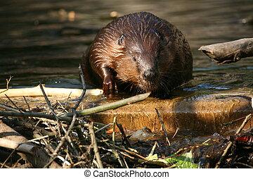 Beaver - Canadian Beaver in a lake