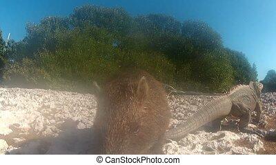 Beaver sniffing camera outdoors closeup