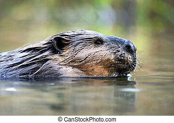 Beaver swimming - Beaver large adult swimming in pond, ...