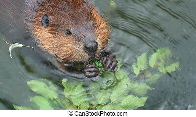 Beaver - The beaver close up eats green leaves