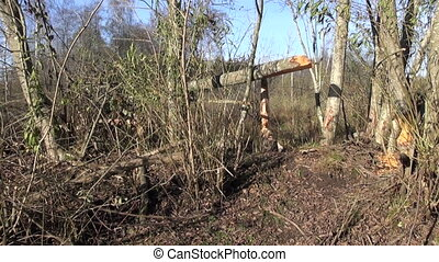 handmade poacher trap for animals - beaver tree and handmade...