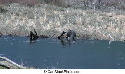 Beavers in water dams in Ushuaia.