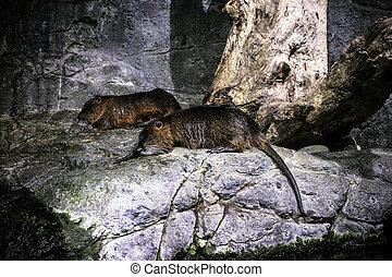 beavers on the stones