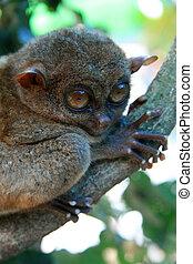 bebé arbusto, -, tarsier, filipinas