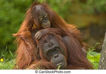 bebé, lindo, orangután, ella, madre