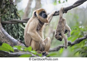 bebé, madre, mono aullador