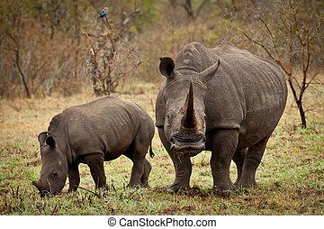bebé, madre, rinoceronte