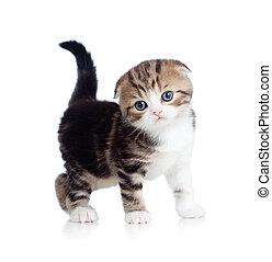 bebé, pliegue, escocés, gato