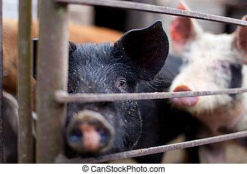 bebé, pocilga, cerdo
