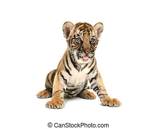 bebé, tigre, bengala