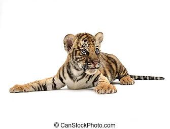 bebé, tigre de bengala