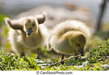 bebê, gansos, dois