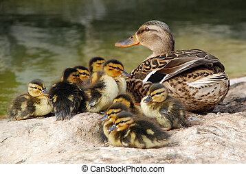 bebê, mamãe, d, dez, pato