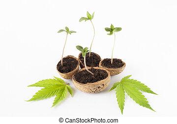 bebê, planta maconha, verde sai