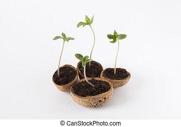 bebê, planta, marijuana, cannabis, crescendo, vegetative, fase