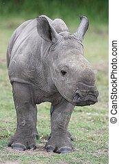 bebê, rinoceronte
