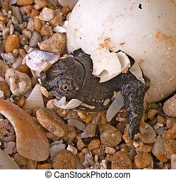 bebê, soft-shell, tartaruga