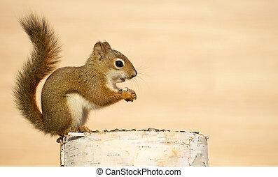 bebê, squirrel.