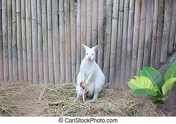 bebê,  wallaby,  albino