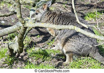 bebê,  wallaby,  tammar