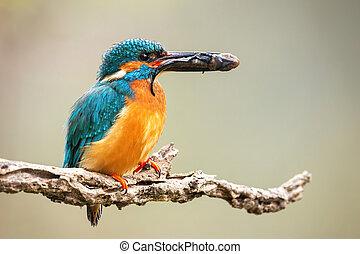 bec, proie, mâle, martin-pêcheur, tenue, branch., commun
