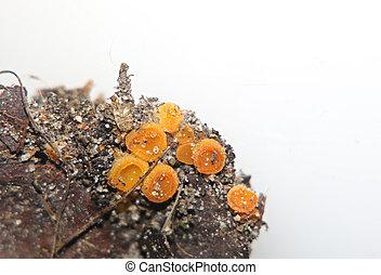 Close up of a vibrant orange sac fungus (ascomycota).