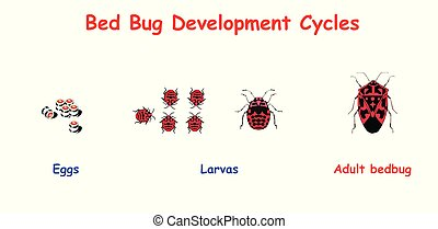 Bed Bug Development Cycles. Education vector illustration.