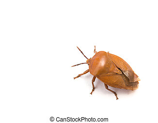 bed bug on white background with copy space
