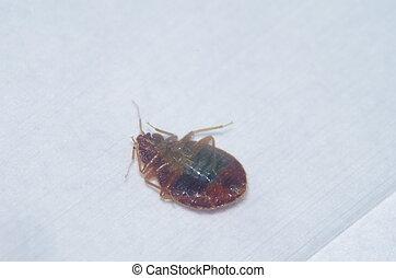 Bed Bug - upside-down bed bug