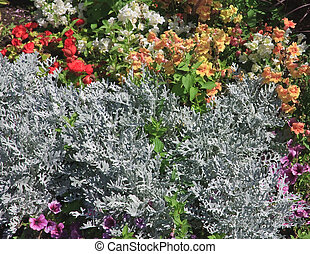 Bed of flowers (Cineraria)