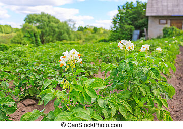 Bed of potatoes in the countryside