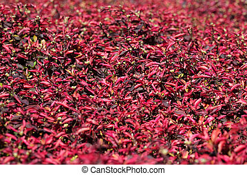 Bed of red flowers