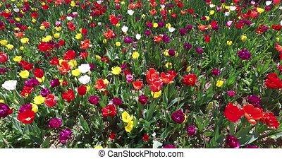 tulips - bed of tulips growing in spring garden tulips