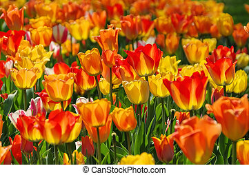 bed of tulips in red and yellow