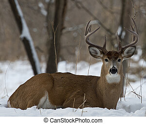 A bedded buck in the winter