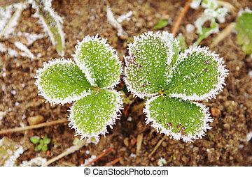 bedeckt, blätter, frost., erdbeer