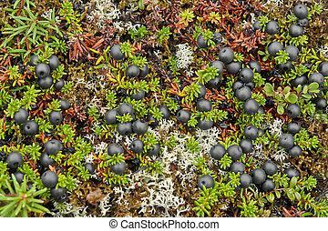 bedeckt, crowberry, beeren, tundra.