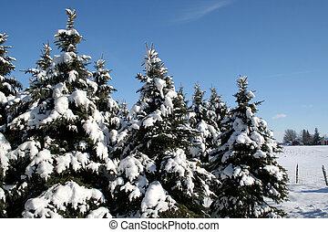 bedeckt, schnee, evergre