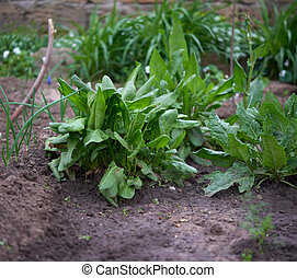 beds with green leaves of sorrel in the garden