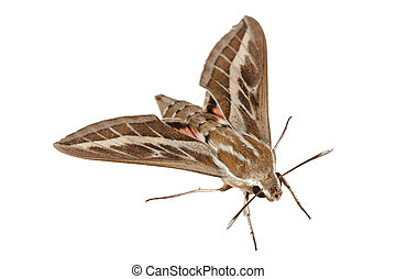 Bedstraw Hawk-Moth or Gallium Sphinx (Lat. Hyles gallii),...