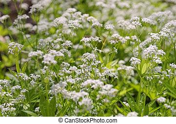 bedstraw, sweetscented, plant, galium, kruiden, odoratum, of