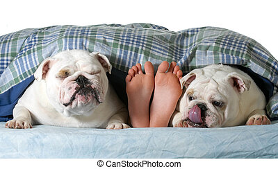 two bulldogs in bed with owner on white background