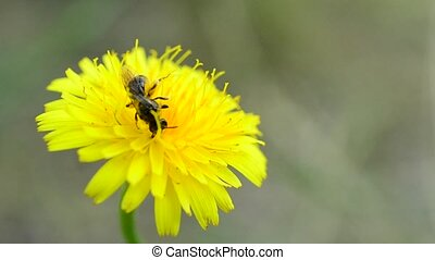 Bee alighting on dandelion and collecting pollen - Honey bee...